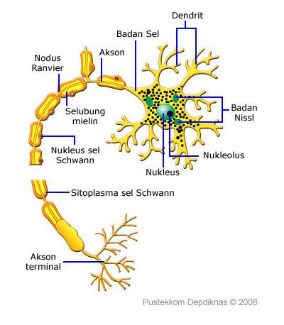53 Gambar Bentuk Neuron Paling Bagus