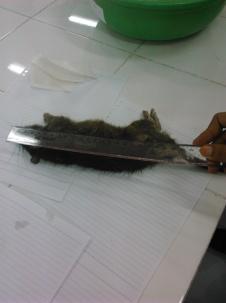 mengukur tikus rattus